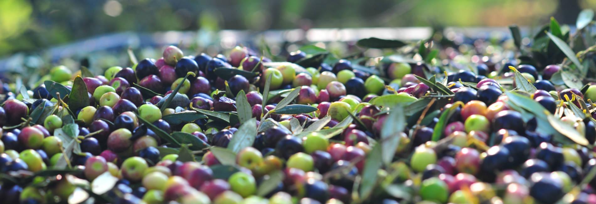 Adopteer Een Olijfboom En Ontvang Jaarlijks 10 Blikjes Superverse Arbequina Olijfolie